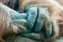 Close Up Of Orangutan's Hands