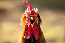Close Up Of Rooster