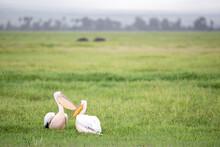 Pelican Birds In The Green Gra...