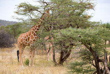 Giraffes Between The Acacia Trees In The Savannah Of Kenya