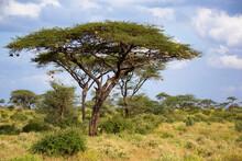A Big Acacia Tree Between Anot...