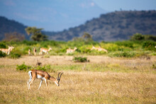 Some Antelopes In The Grass Landscape Of Kenya
