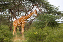 A Giraffe Eats The Leaves Of The Acacia Tree