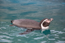 Cute Humboldt Penguin Is Luxur...