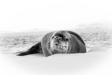 Leopard Seal In Antarctica Lay...