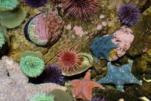 Colorful Marine Life In Tide Pool Exhibit At Oregon Coast Aquarium.