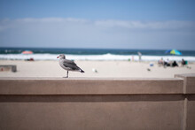 Seagull Standing On A Boardwal...