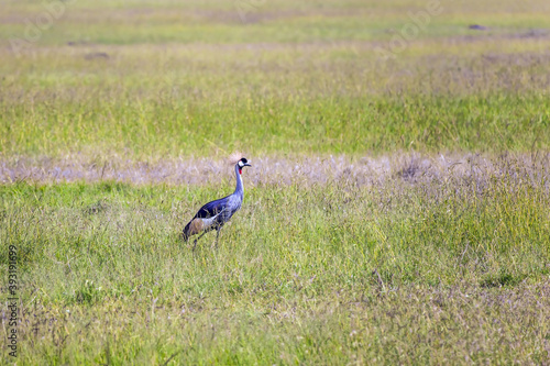 Fototapeta premium Adorable bird Crowned Crane