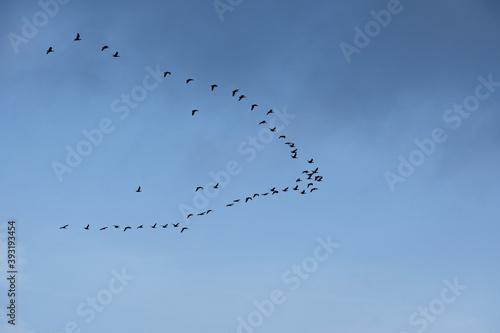 Obraz na plátne Gaggle of geese flying in a clear sky in Norfolk UK