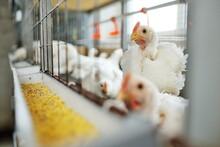 Poultry Farm, Raising Broiler ...