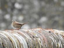 Stio Sparrow On A Brick Wall