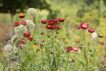 Bush Of Pink Xerochrysum Bracteatum (Helichrysum Bracteatum Or Paper Flower) Grow In The Garden, Beautiful Bright Flowers In Summer. Gardening, Cultivation Of Straw Flowers
