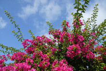 Vibrant Pink Bougainvillea Flowers Against Blue Sky