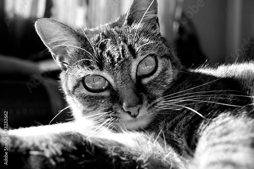 Retrato a blanco y negro de gato atigrado con la luz del sol a un costado Tapéta, Fotótapéta