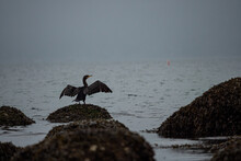 One Cormorant Resting On The Rock Near The Shoreline With Its Wings Open On An Overcast Morning
