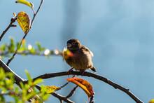 A Fluffy Chubby Young Sparrow ...