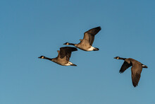 Three Canada Geese Flew Overhead Under The Blue Sky On A Sunny Morning