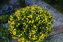 Top View Of Yellow Chrysanthem...