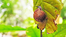 Close Up Snail On The Leaf Wit...