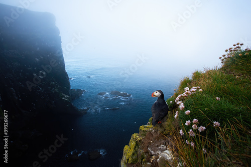 Fotomural Atlantic puffin, fratercula arctica, standing on cliff in summer Iceland nature