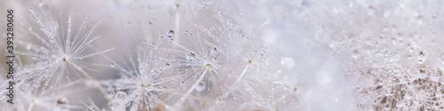 Photo Beautiful dew drops on a dandelion seed macro