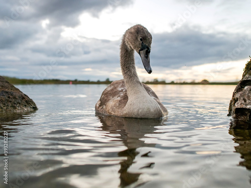Fotomural One grown cygnet with grey feathers in a river