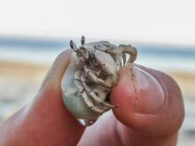Little Hermit Crab Is Held Bet...