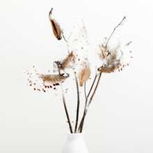 Dry Grass Flowers Milkweed Seed Pod Bursting Open With Seeds For Interior Decoration On White Background. Milkweed Seeds And Pods.