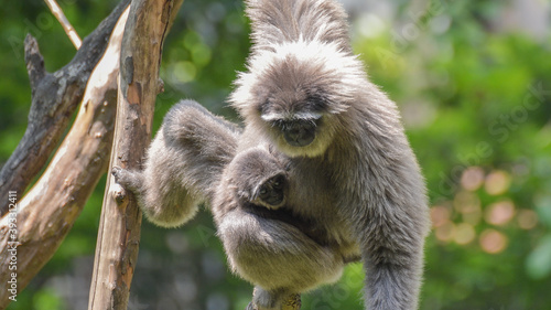 Fototapeta Silvery gibbon hanging with baby