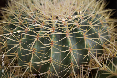 Canvas Print round cactus with yellow spines close-up