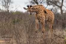 Very Young South African African Giraffe Browsing On The Low Bushes