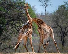 Two Bull South African Giraffe...