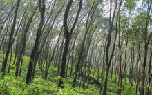 Thick Growth Of Trees In The Rain Forests Of The Silent Valley In Kerala