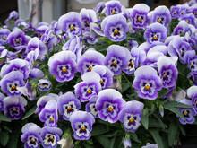 Purple Viola Tricolor In Biei ...
