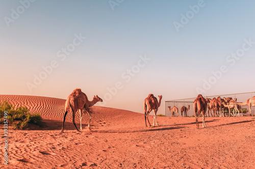 Foto camels in the desert