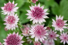Astrantias, Also Known As Hattie's Pincushion Or Masterwort, Are Charming Perennials With Branched Heads Of Neat Pincushion Flowers