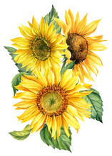 Composition Of Watercolor Sunflowers On Isolated White Background, Hand Drawing