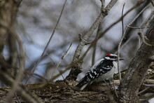 Downy Woodpecker Perched On A ...