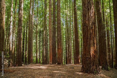 sequoia tree natural park cantabria