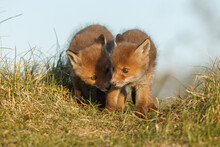 Red Fox Cub In Springtime In Nature.