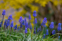 Muscari Armeniacum Cultivated ...