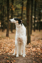 Borzoi Dog Portrait