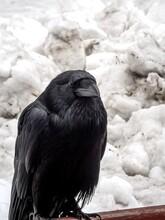 A Black Raven Sits On The Back...