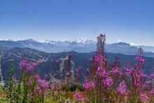 Touffe D'épilobes En épi Avec En Arrière-plan Le Massif Du Mont-Blanc Depuis Le Sommet Du Mon Chéry