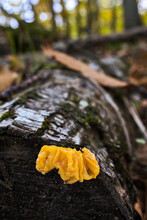 Tremella Mesenterica Nice Fungus That Grows On Dead Wood