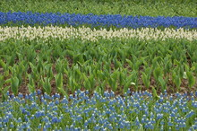 Grape Hyacinths Planted In Strips, Dark Blue, Light Blue And White Blooming.  In Between Tulips Are Planted Which Are Not Yet Blooming.  The Area Of Focus Of The Image In The Center Of The Image