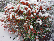 Snow On Red Flowering Quince I...