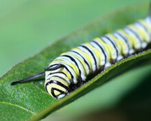 Close Up Of A Monarch Caterpil...