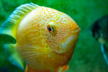 Yellow Cichlid In The Aquarium Close-up
