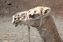 Profile Of Camel Face Covered ...